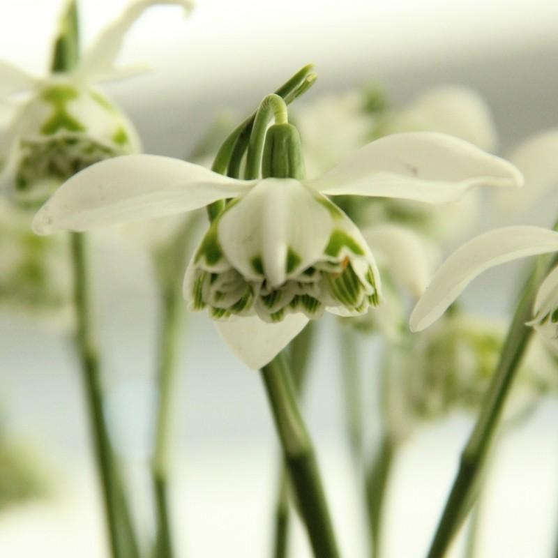 Galanthus 'Richard Ayres' (Double Group)