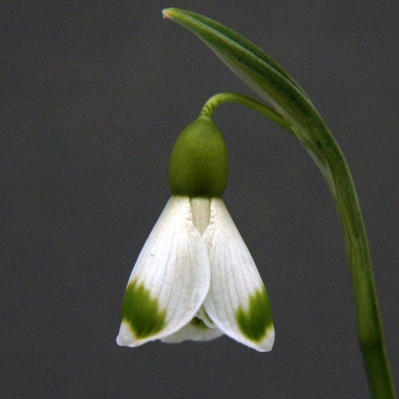 Galanthus 'Trymlet' (Fancy Group)