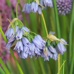 Allium beesianum