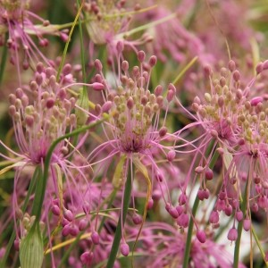 Allium huber-morathii