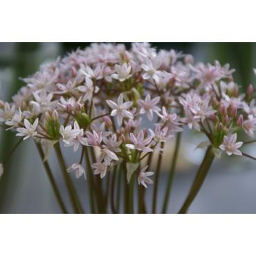 Allium hyalinum