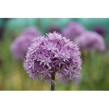 Allium 'Marshmellow'