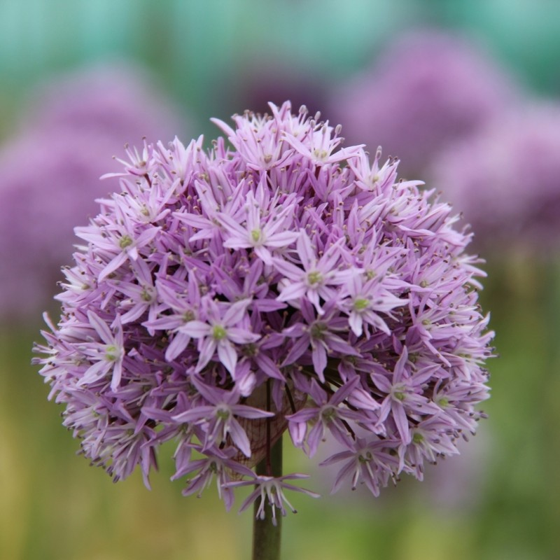 Allium 'Marshmellow'