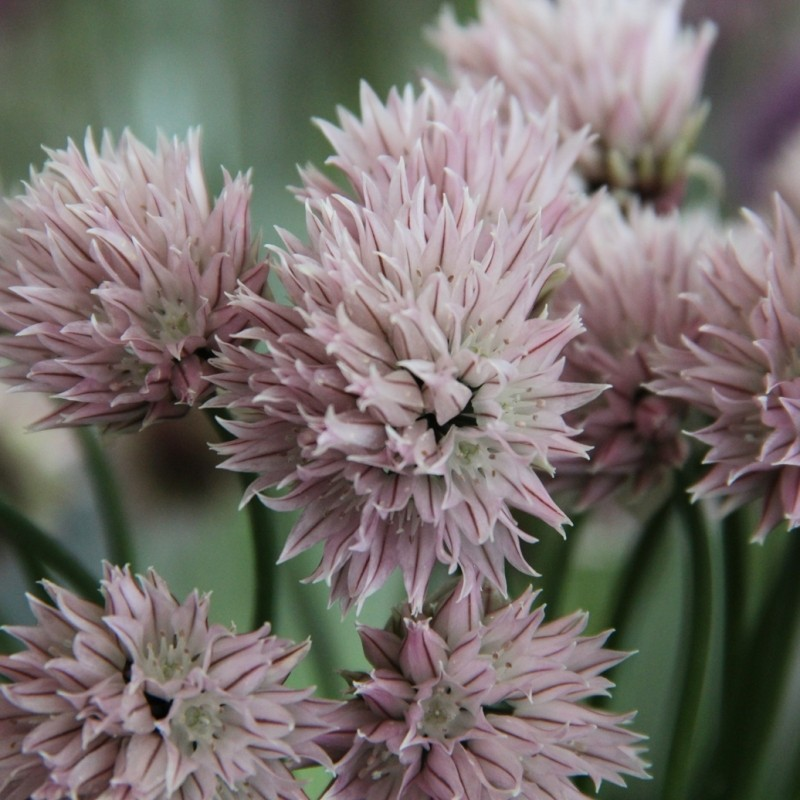 Allium schoenoprasum forma albiflorum