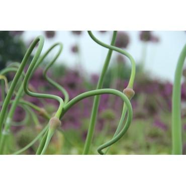 Allium tuncelianum