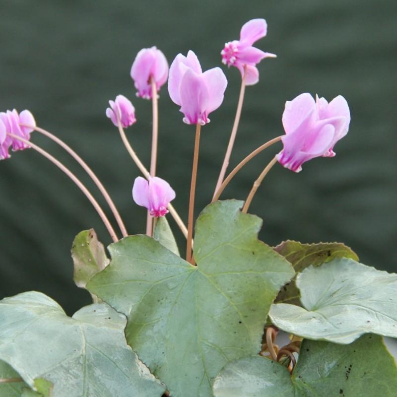 Cyclamen hederifolium -Silver Leaf Pink-