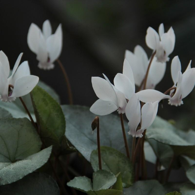 Cyclamen hederifolium -Silver Leaf White-