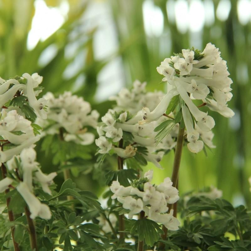 Corydalis solida subsp. solida niveus
