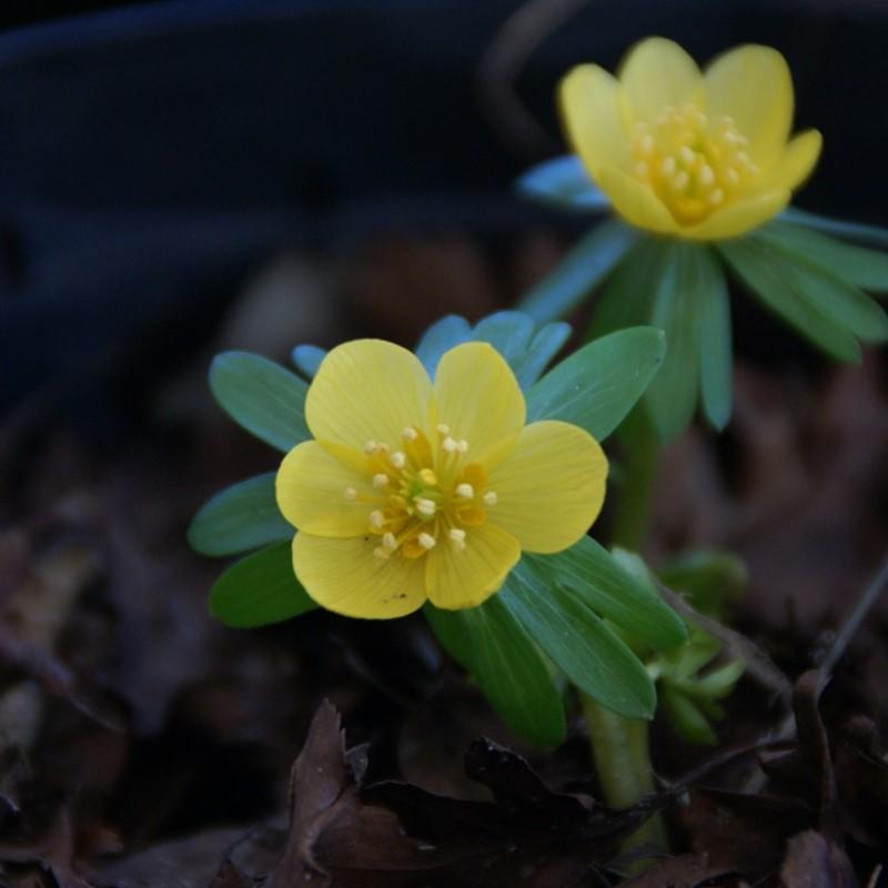 Eranthis hyemalis 'Orange Glow'