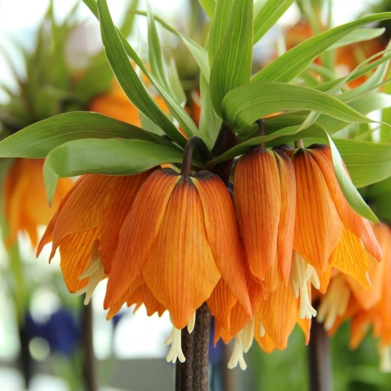 Fritillaria imperialis 'Garland Star'