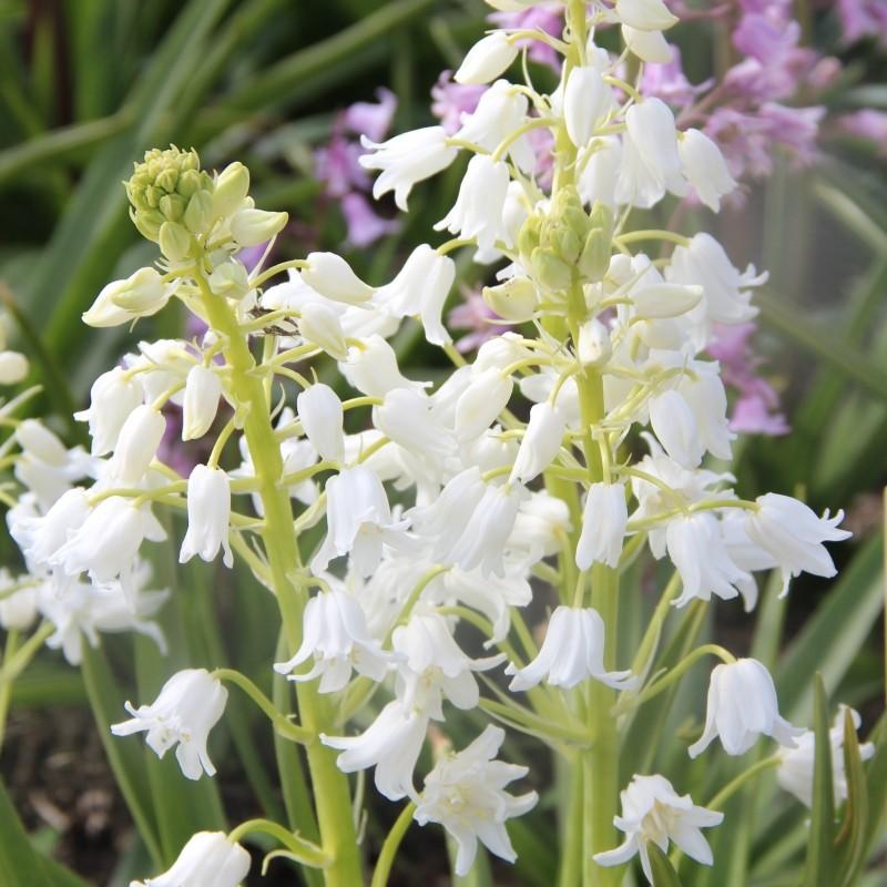 Hyacinthoides hispanica 'White City'