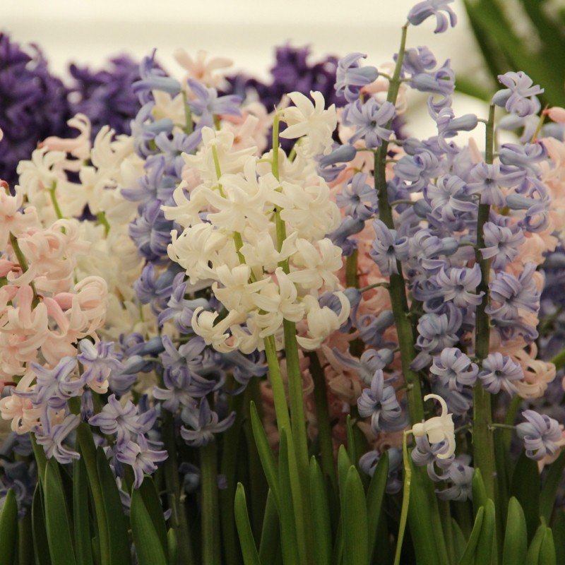 Hyacinthus orientalis -Festival mix-