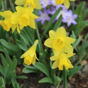 Narcissus ´Little Gem´