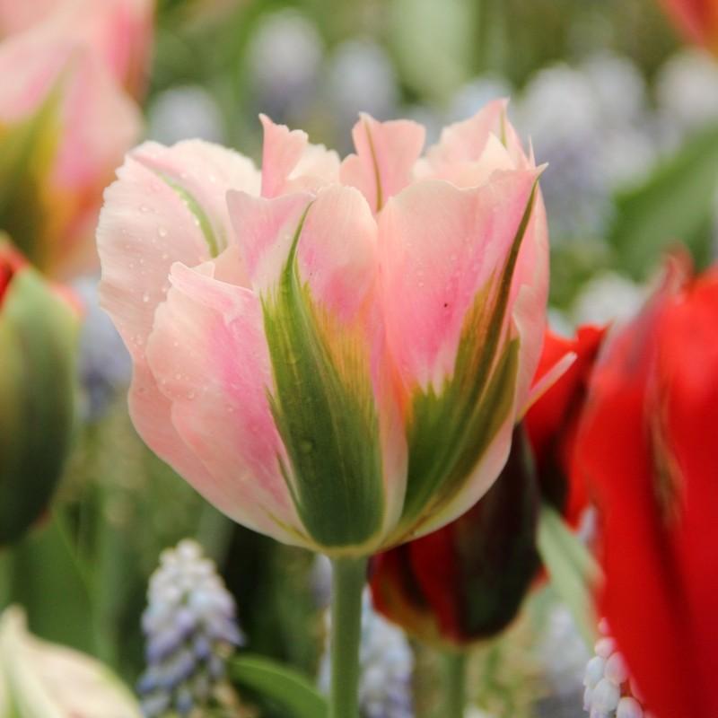 Tulipa 'China Town'