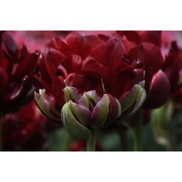 Tulipa 'Uncle Tom'