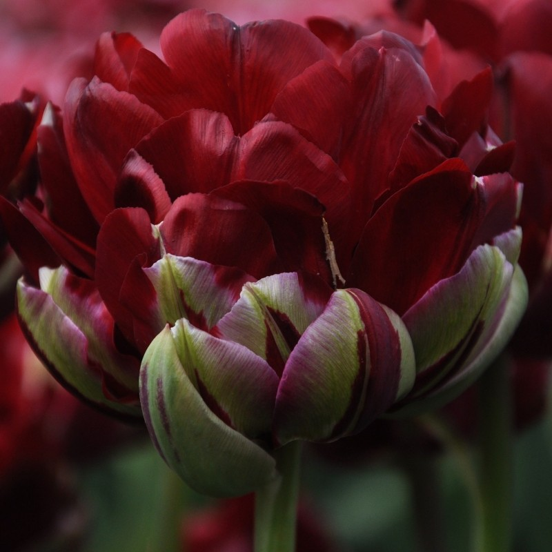 Tulipa 'Uncle Tom'