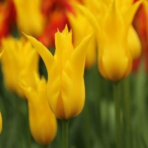 Tulipa 'Flashback'