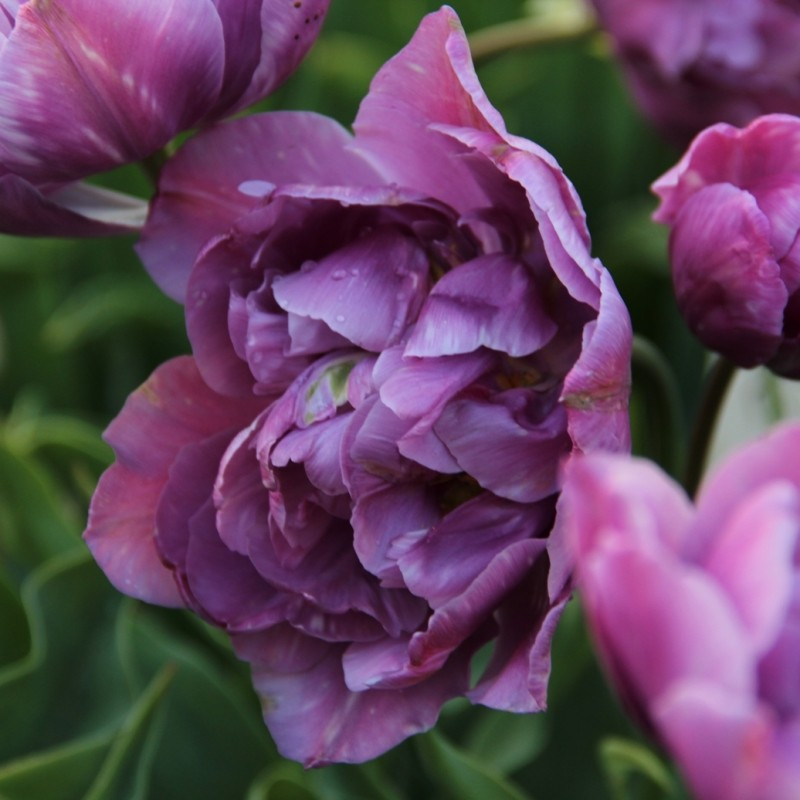 Tulipa 'Lilac Perfection'