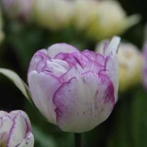 Tulipa 'Shirley Double'