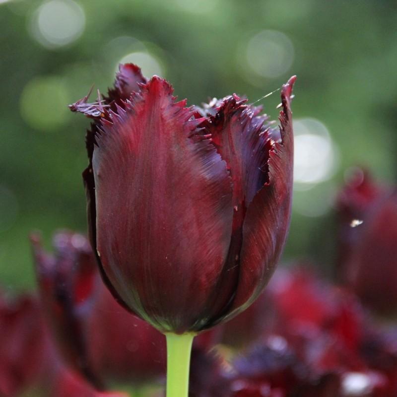 Tulipa 'Vincent van Gogh'
