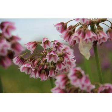 Nectaroscordum tripedale