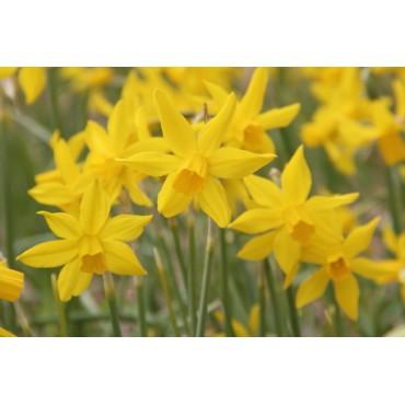 Narcissus 'Tres Belle'