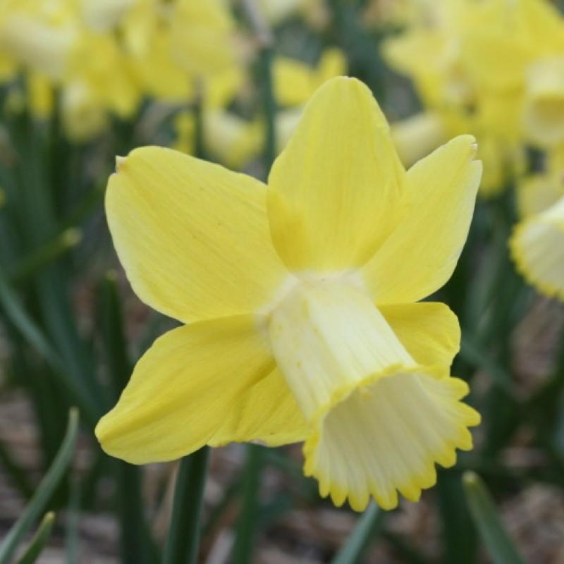 Narcissus 'Inca'