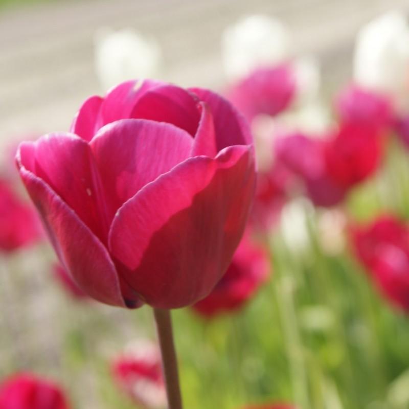 Tulipa 'Vredehof'