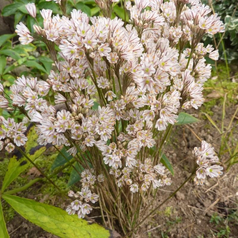 Allium callimischon subsp. callimischon