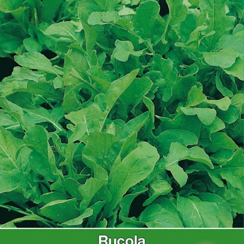 Rucola  / Eruca sativa