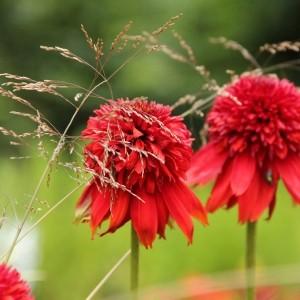 Echinacea 'Eccentric ®'