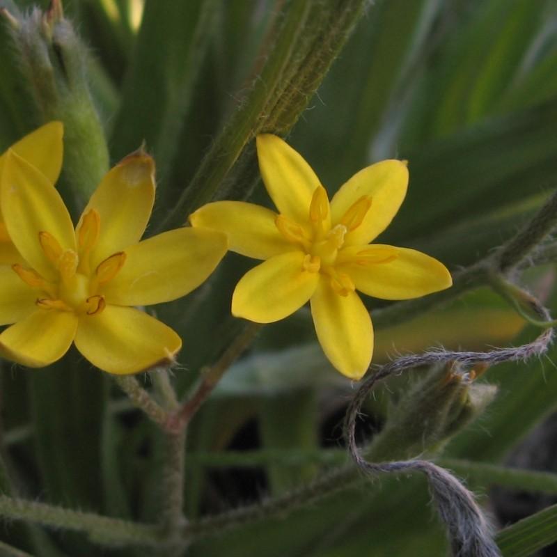 Hypoxis angustifolia
