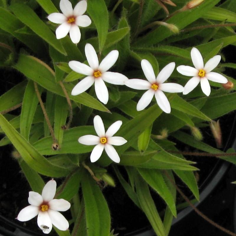Rhodoxis hybrida