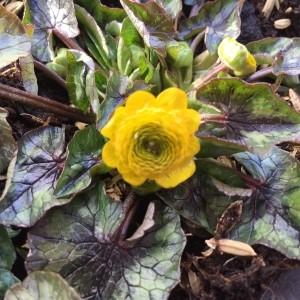 Ranunculus ficaria -dubbelbloemig-