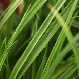 Carex morowii 'Variegata'