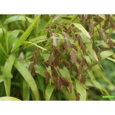 Chasmanthum latifolium