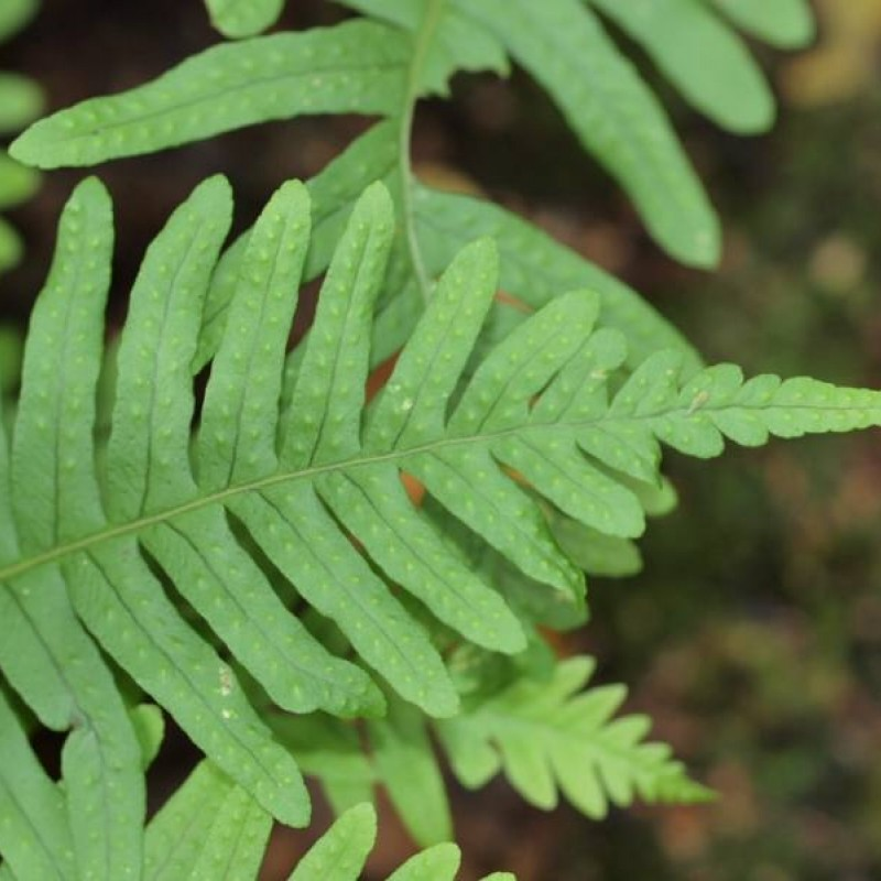 Polypodiium vulgare