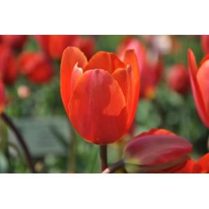 Tulipa 'Orange King'