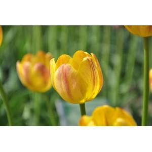 Tulipa 'Roi Soleil'