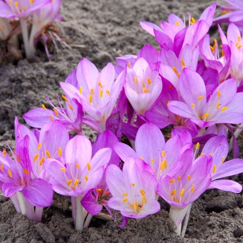 Colchicum cilicicum 'Purpureum'