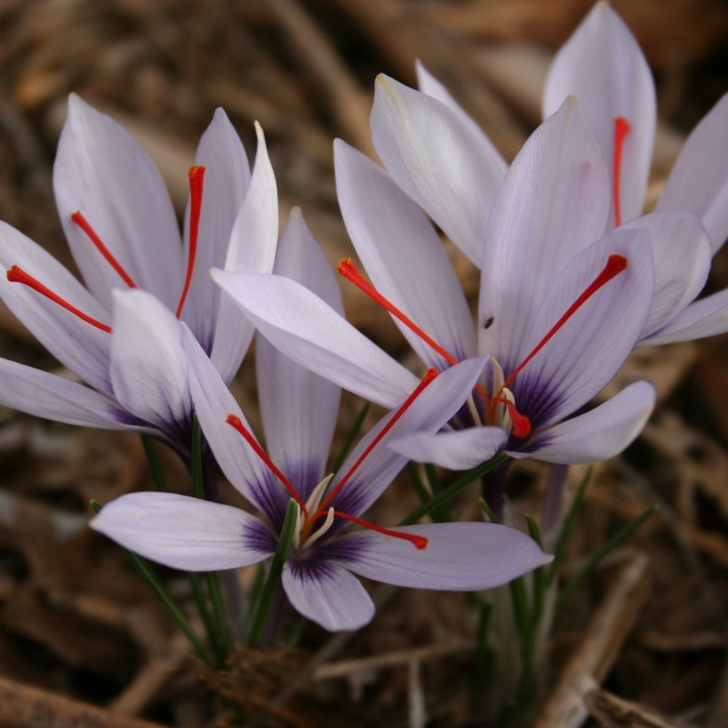 Crocus hadriaticus 'Purple Eye'