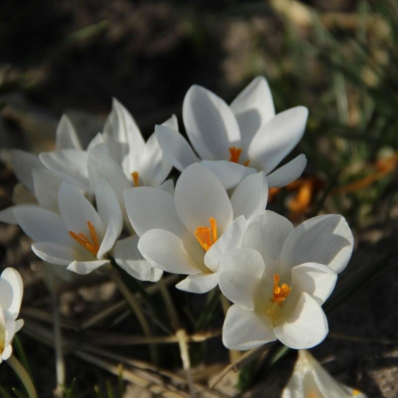 Crocus biflorus 'Miss Vain'