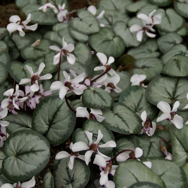 Cyclamen coum subsp. coum -wit met zilver blad-