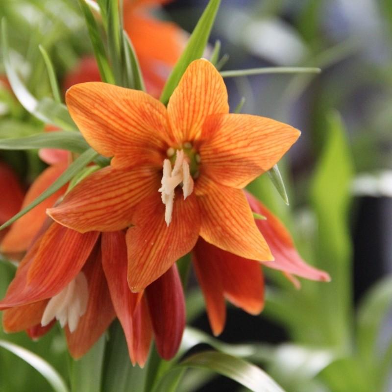 Fritillaria eduardii 'Pollux'