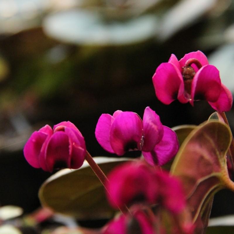 Cyclamen coum subsp. coum 'Meaden's Crimson'