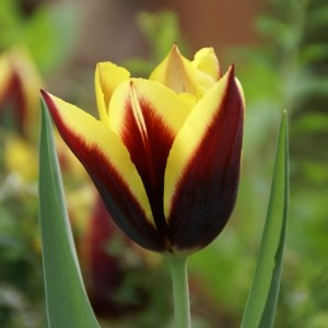 Tulipa 'Gavota'
