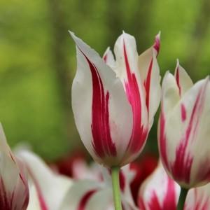 Tulipa 'Marilyn'