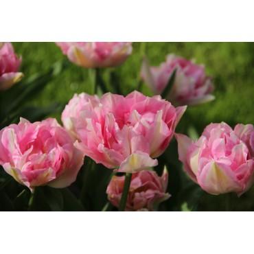 Tulipa 'Tailleux'