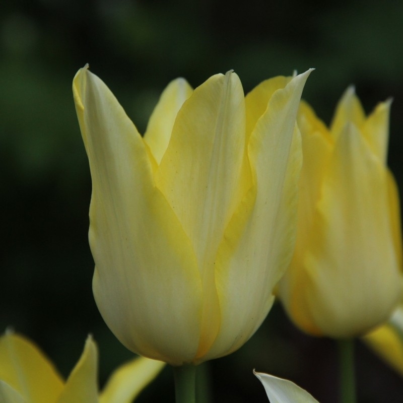Tulipa 'Moonlight Girl'