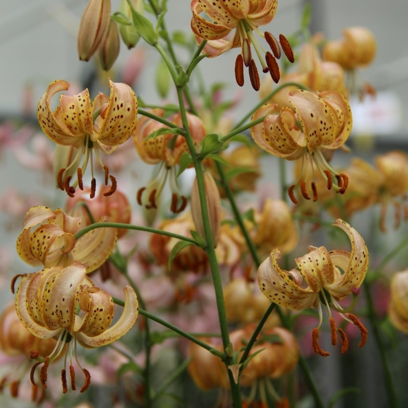 Lilium 'Peppard Gold'